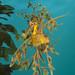 Leafy Seadragon. by JimSwims