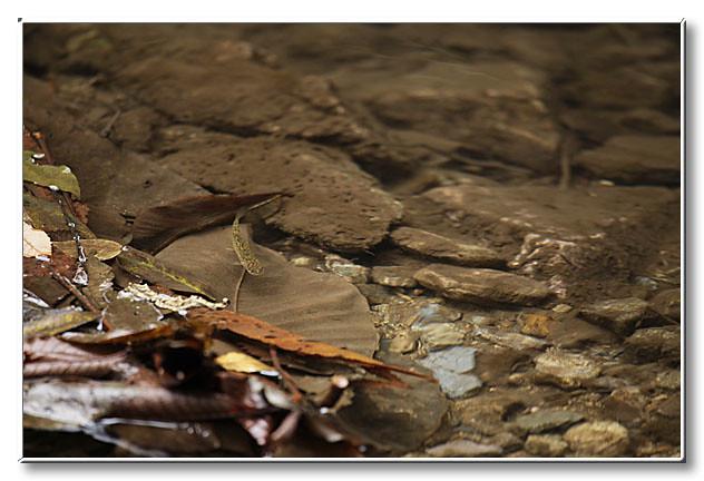 こちらは1年目のゴギ.流れが速くなる瀬頭を行ったり来たりしていた.
