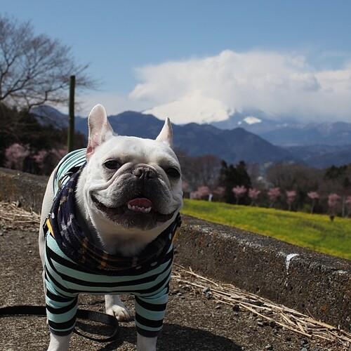 富士山ちょい隠れ〜 #frenchbulldog #buhi #frenchie #dog #フレンチブルドッグ #フレブル #ブヒ