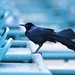 Grackle at Hollywood Park  by krisjul66