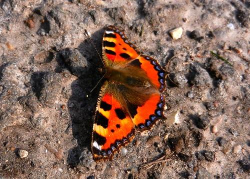 Small Tortoiseshell Butterfly DSCN2557