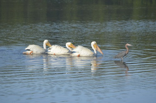 white pelicans + reddish egret
