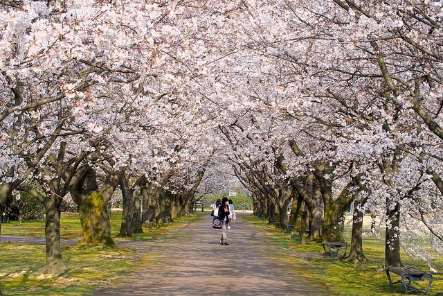 植物園の桜 Sakur of the botanical garden
