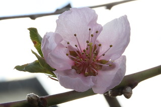 Nectarine is blooming in our rear yard