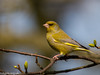 Male Greenfinch by Danny Gibson