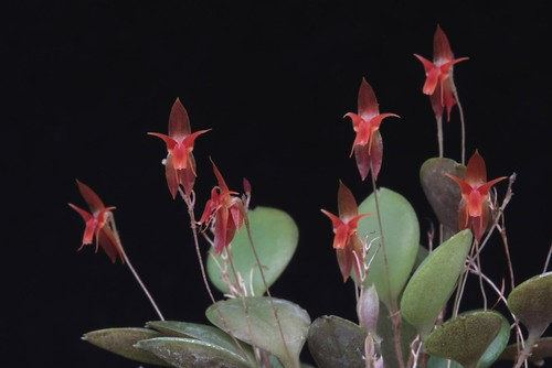 Lepanthes valerioi