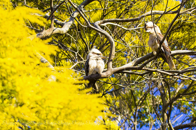 Kookaburras birds on a wattle tree, two of the main symbols of Australia
