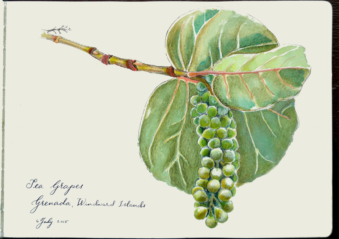 sea grapes in Grenada, West Indies