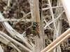 Norwegian Wasp