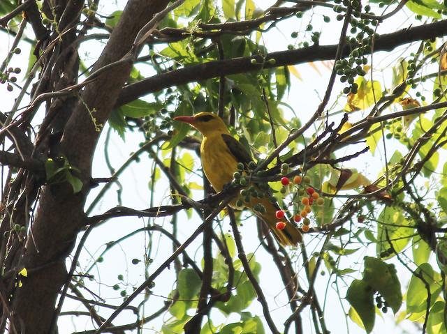 Indian Golden Oriole Female