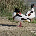 Tarros blancos. Lagunas de La Guardia (Toledo) 9-4-2016