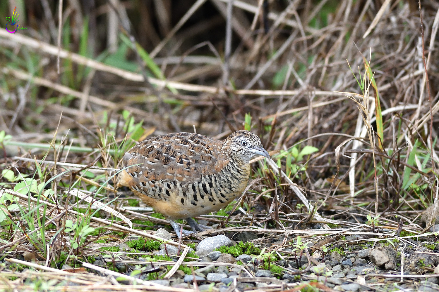Barred_Buttonquail_7176