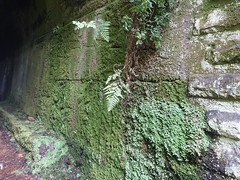 2017-03-19 North East Rail Trail Tunnel 25 - Moss and ferns on tunnel wall