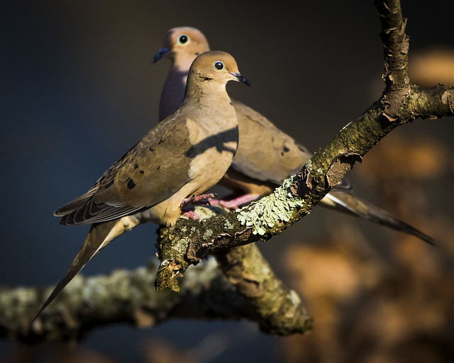 Pair of Morning Doves, Canon EOS 7D MARK II, Canon EF 500mm f/4L IS