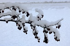 Snow Covering Crabapple Tree Branch 004