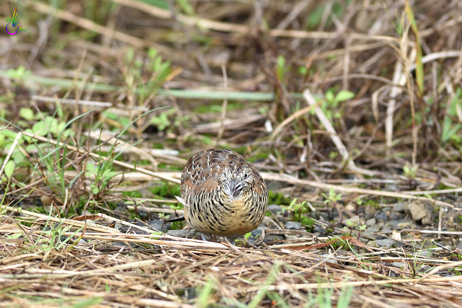 Barred_Buttonquail_7097