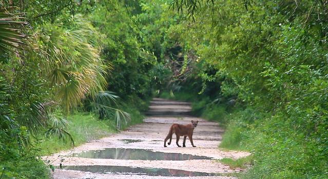 Florida Panther, Fakahatchee Strand Preserve State Park, Florida