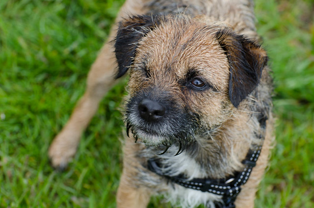Bella the Border Terrier