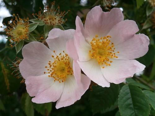 Wild dog rose, Rosa canina, Warwickshire 06-13jpg