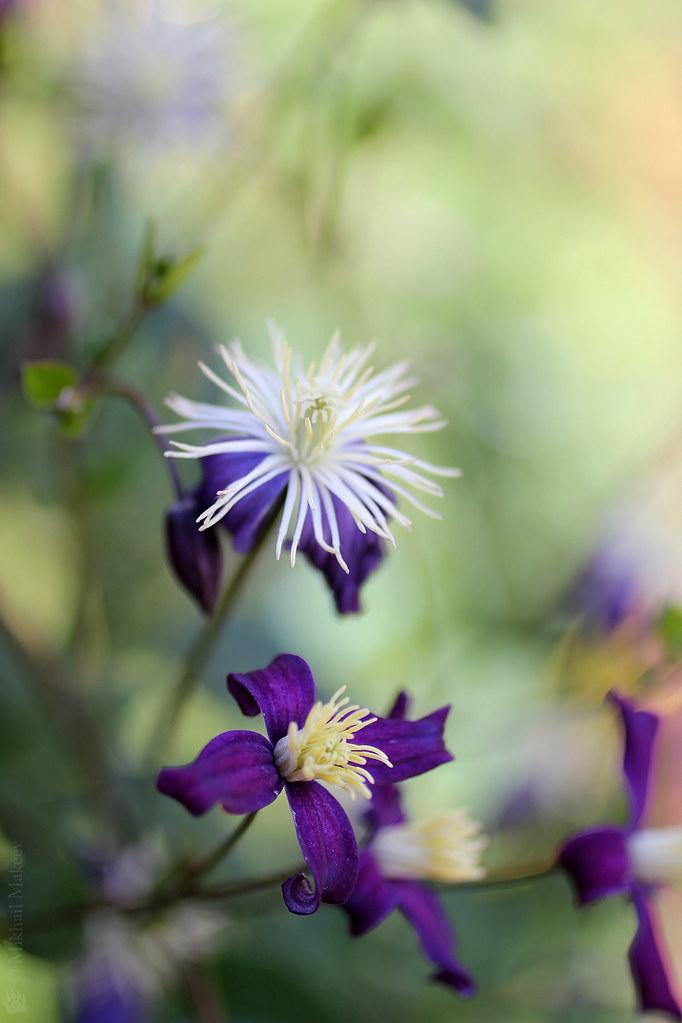Clematis x aromatica — Клематис ароматный