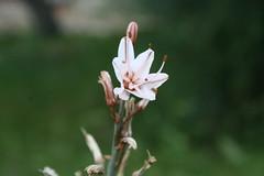 Xanthorrhoeaceae