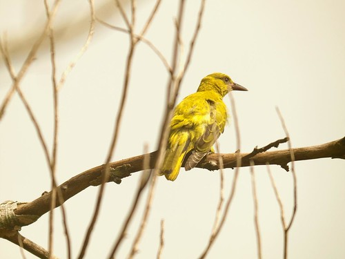 Yellow Bird 2