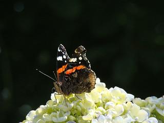 8 vlinder