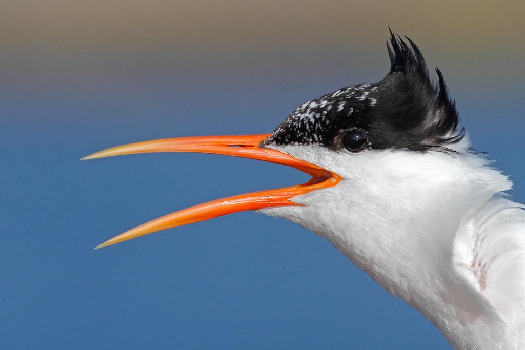 Portrait of an Elegant Tern