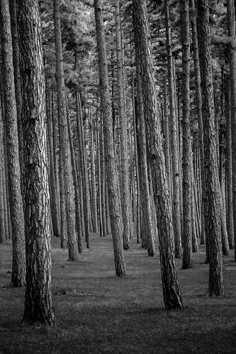 france pins revel hautegaronne midipyrénées saintférréol