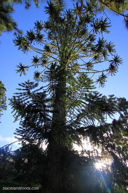 maxwell hill big tree