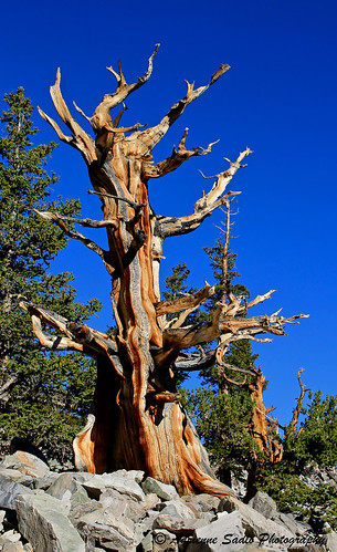 old pine ancient nevada bristlecone greatbasin greatbasinnationalpark bristleconepinetree