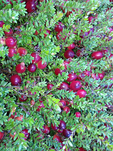 Ripe berries on the vine ready to be picked at Mayflower Cranberries in Plympton, Mass. Photo by Jeff LaFleur of Mayflower Cranberries used with permission.