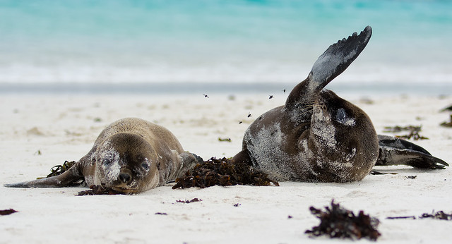 FV Flickr Top 5; 2-36, Runner-Up: The Story of the seal and the flies on Española Island Galapagos -Ecuador