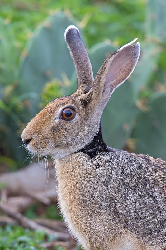 Black Naped Hare Sri Lanka 2013-11-29