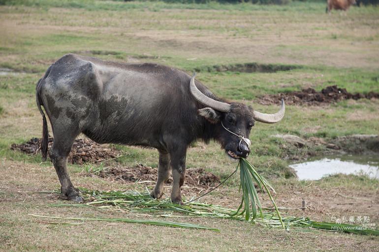 台南私藏景點--德元埤&老牛的家 (34)