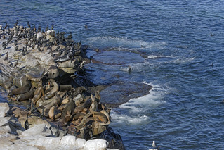 La Jolla Cove Wildlife