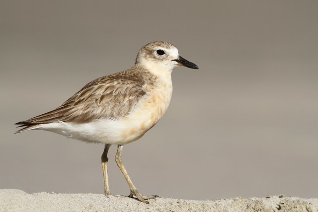 Red-breasted (New Zealand) Dotterel