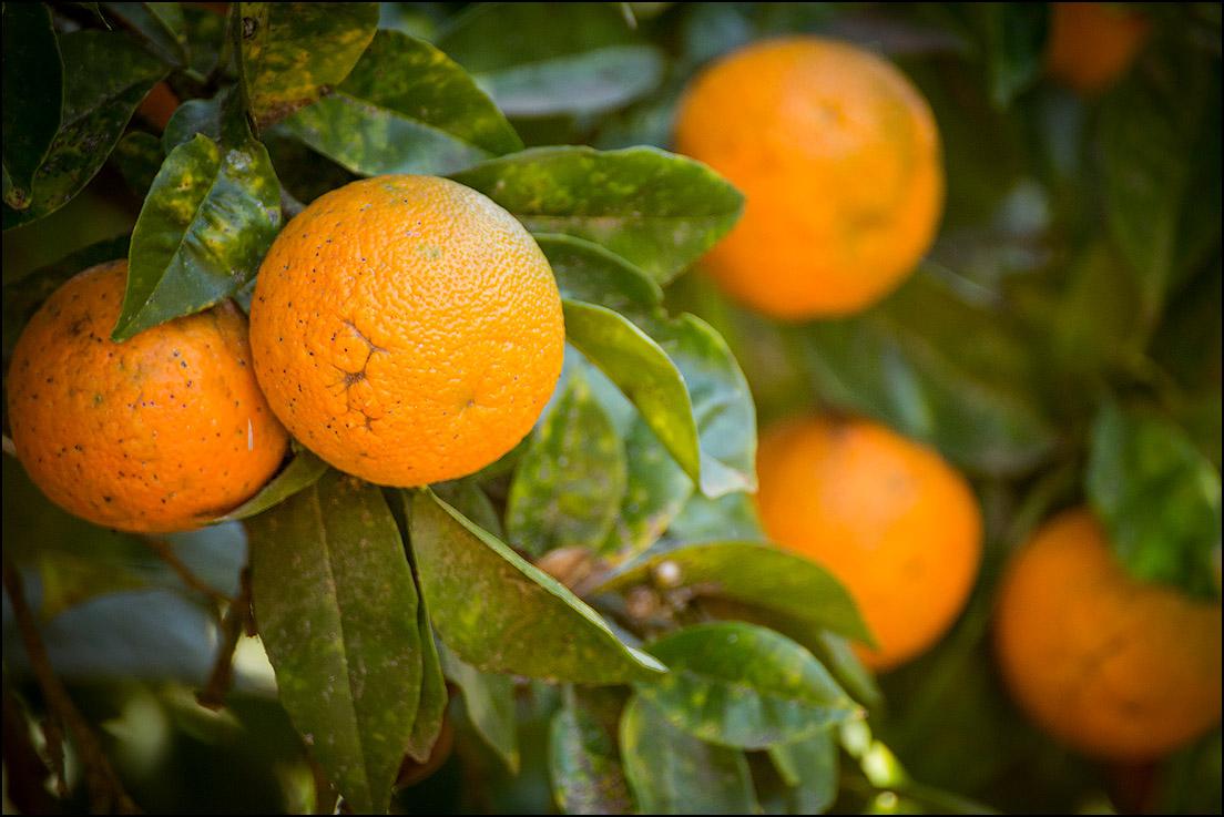 Апельсины много фото