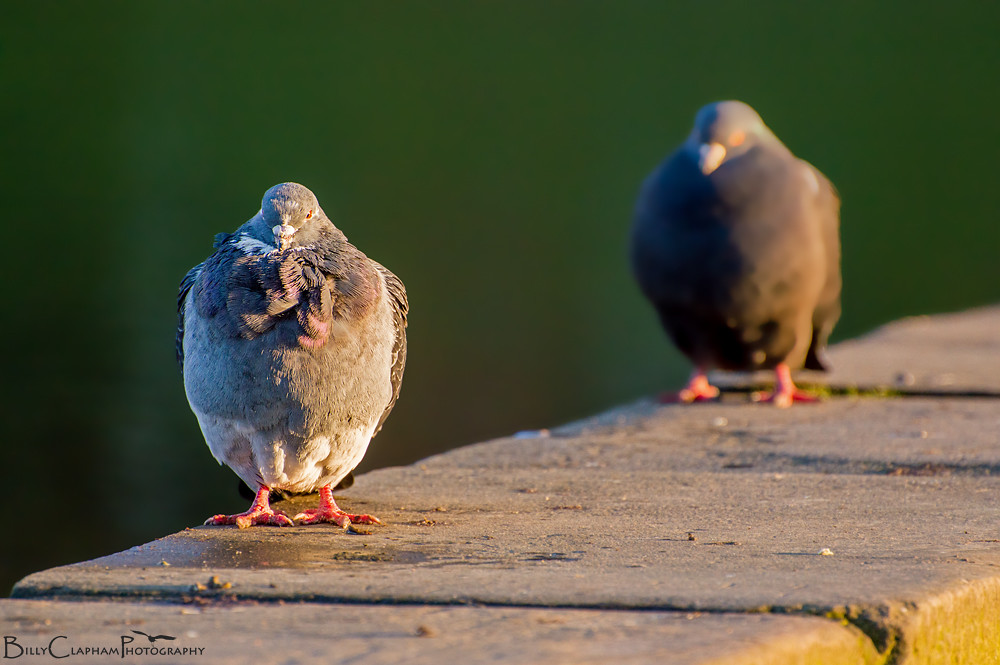 billy clapham photography Nikon pigeon