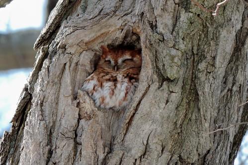 #27 Eastern Screech Owl (Megascops asio)