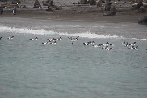 185 Kaapse stormvogels