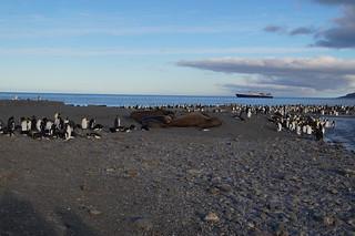 538 Koningspinguins en zeeolifanten