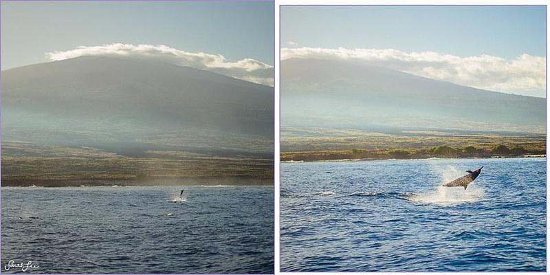 sarahlee_mthualalai_dolphins_bigisland_hawaii.jpg