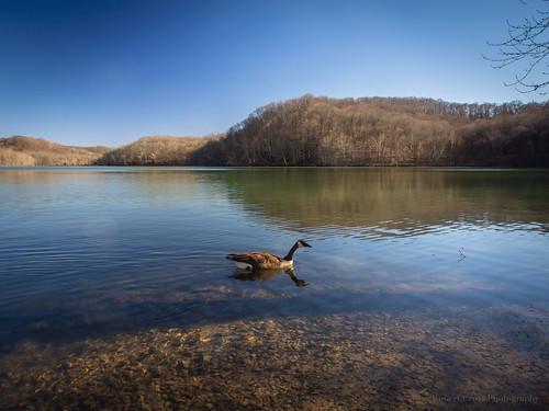 lake reflection bird landscape nashville tennessee bluesky olympus goose brantacanadensis omd branta radnorlake em5 1250mmf3563mzuiko