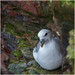 Fulmar, Troup Head
