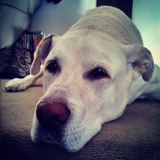 TGIF and Good Morning -Zeus #dogstagram #instadog #ilovemydogs #ilovebigmutts #labmix #love #bigdog