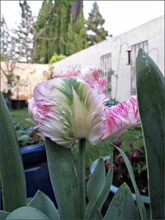Pink ruffled tulip 4