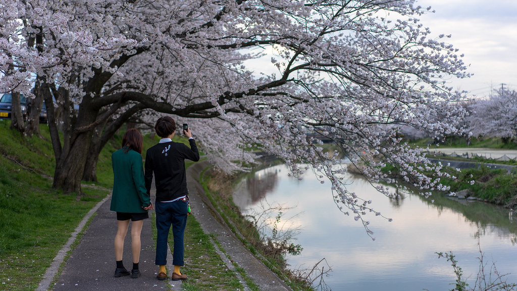 CherryBlossoms_01