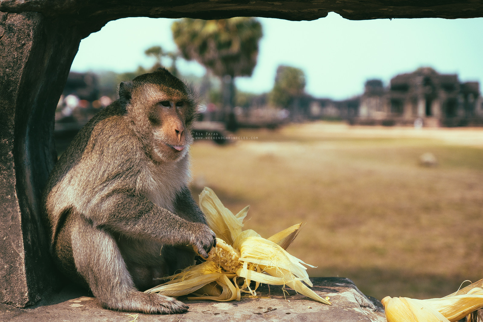 A male macaque enjoying his corn