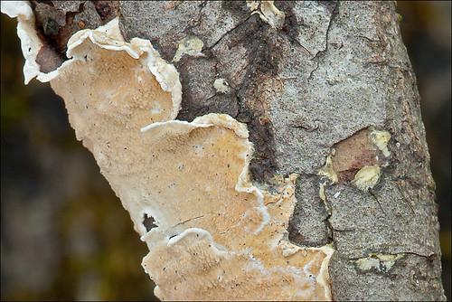 Byssomerulius corium, syn.: Meruliopsis corium Netted Crust, Gemeiner Lederfaeltling Slo.: oranžna pokrivača Photo by Amadej Trnkoczy  on Flickr Автор фото: Amadej Trnkoczy (Slovenija)